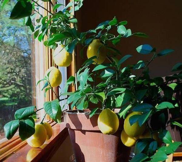 Во время цветения и плодоношения лимон сорта Майера следует подкармливать