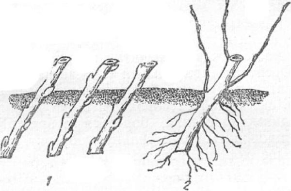 Размножение ирги зелеными черенками