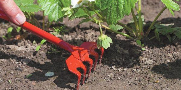 Грядку с земляникой Елизавета 2 необходимо очищать от сорных растений, а перед поливом рыхлить землю