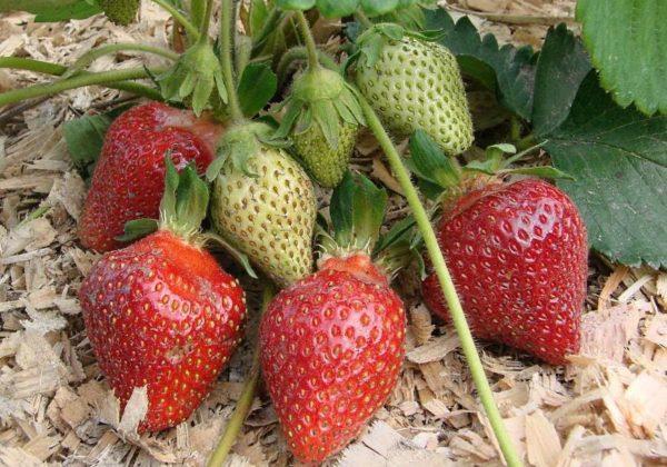 Спелые и зеленые ягоды земляники Царица