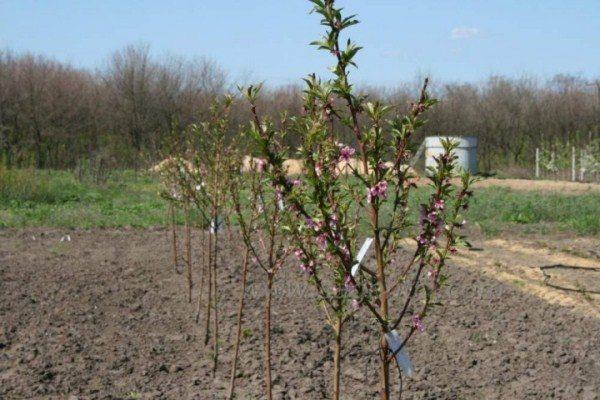 Высаживать саженцы инжирного персика лучше всего осенью