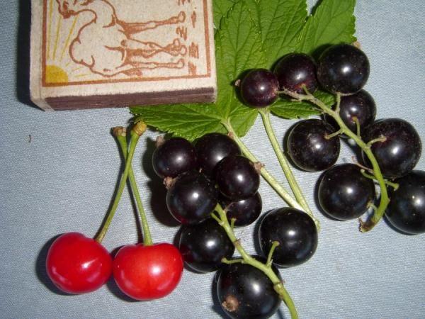 Ранний сорт черной смородины Селеченская