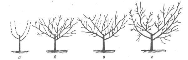 Схема формирования чашеобразной кроны ореха Идеал