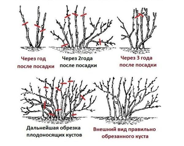 Схема правильной обрезки и формирование куста смородины
