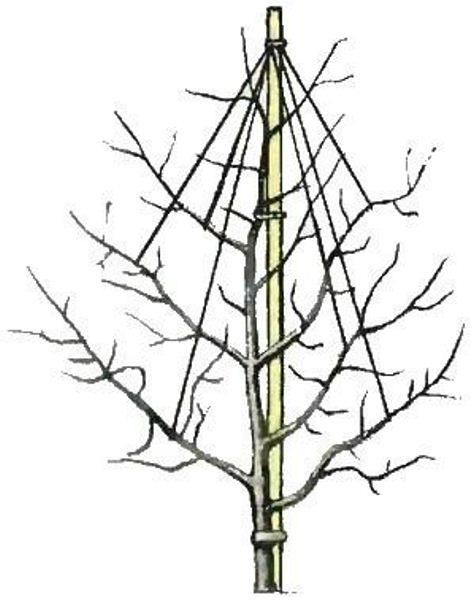 Схема чаталовки для штамбовой смородины