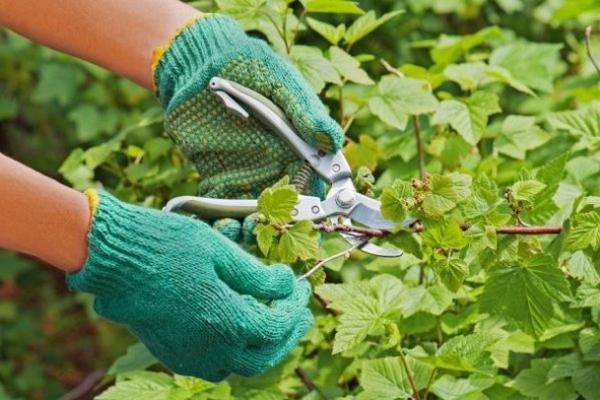 Обязательно вырезают ветки сломанные, направленные внутрь куста или в тень, лежащие на земле, неурожайные, слабые приросты текущего года