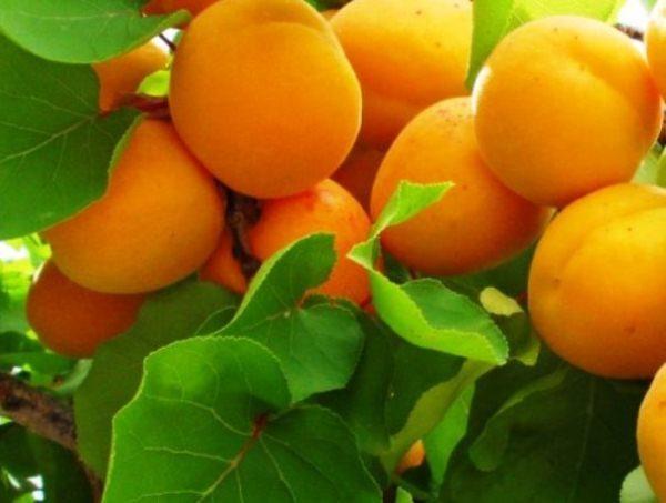 Спелые плоды абрикос Триумф Северный