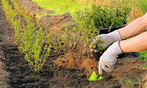 Осенняя посадка смородины способствует быстрому укоренению куста и хорошим весенним всходам