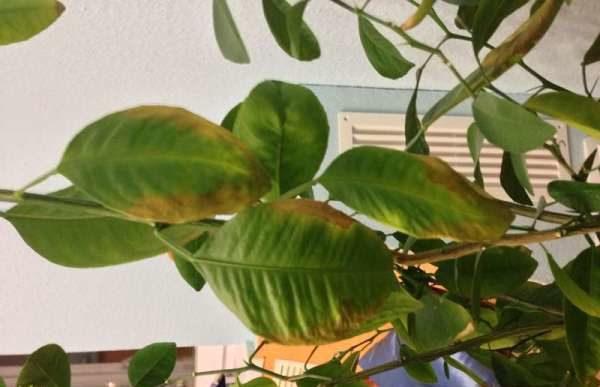 Если листья лимона начинают желтеть - это свидетельствует о нехватке питательных веществ
