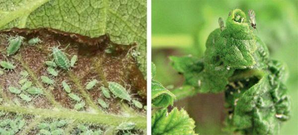 У пораженной тлей смородины листья сворачиваются, а затем отмирают
