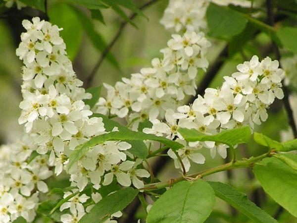 Цветущие ветки черемухи в середине мая