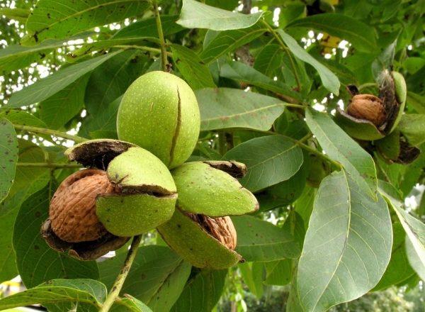 Где выращивают, как посадить и ухаживать за грецким орехом, способы размножения дерева