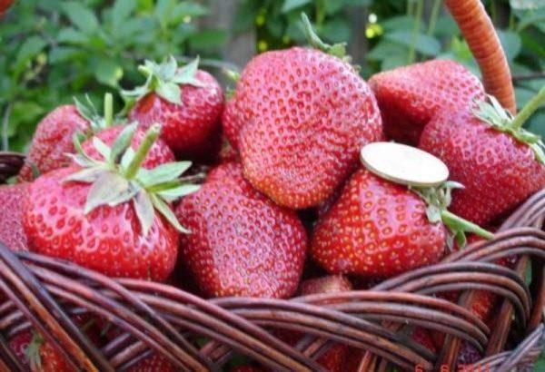 Свежесорванные ягоды земляники Елизавета 2