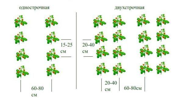 Схема однострочной и двухстрочной посадки земляники
