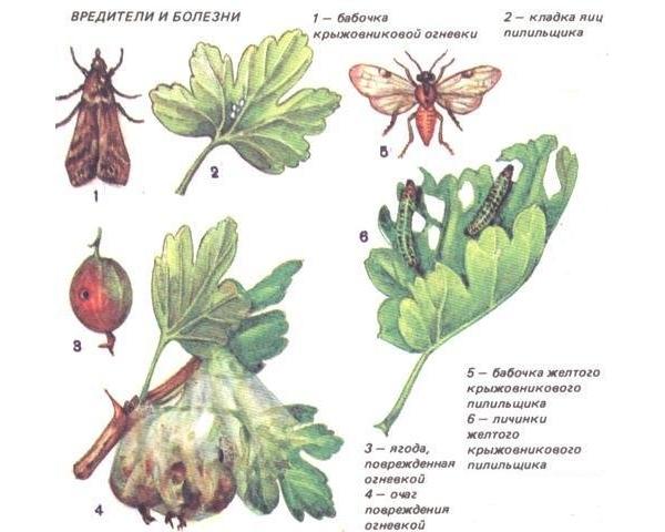 Вредителями крыжовника являются гусеницы, тля, клещ, стеклянница и смородиновая галлица