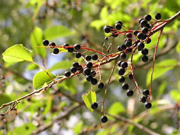 Спелые ягоды черемухи на кусте