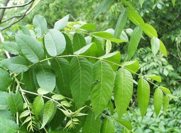 Зеленые листья грецкого ореха