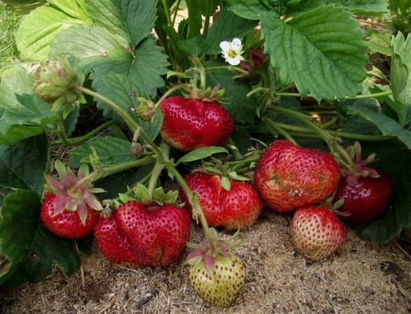 Уход за Гигантеллой требует удаления усов, удобрения компостом и луковой шелухой