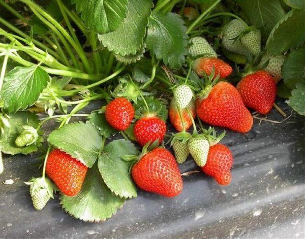 Куст земляники Кимберли со спелыми и зелеными ягодами