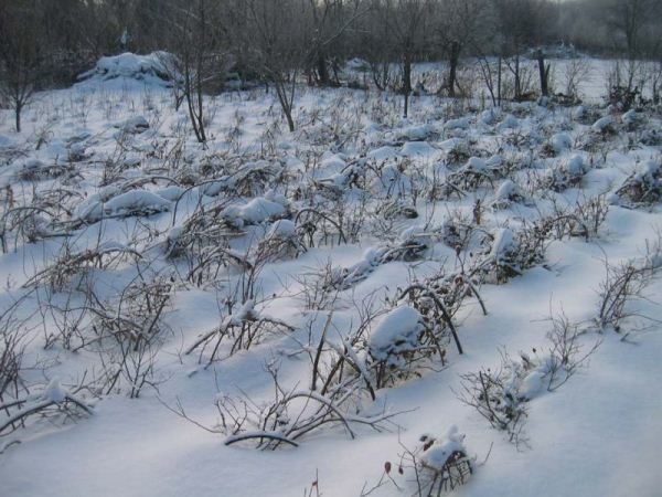 Голубика устойчива к сильным морозам, но подготовка к зиме необходима