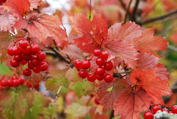 Гроздья красной калины осенью