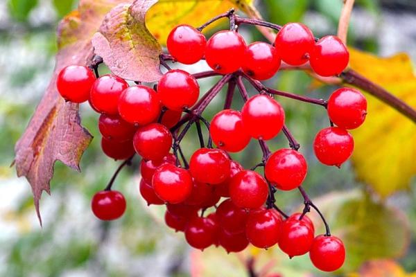 Ягоды калины содержат витамин С, микроэлементы и кислоты, вещество вибурнин