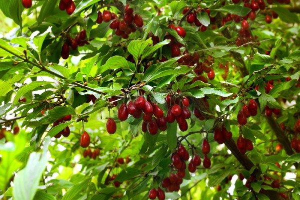 Куст кизила с плодами
