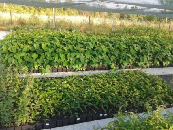 Семена засеваются в апреле в плодородную почву на глубину 1 сантиметр, посадки нуждаются в регулярном поливе