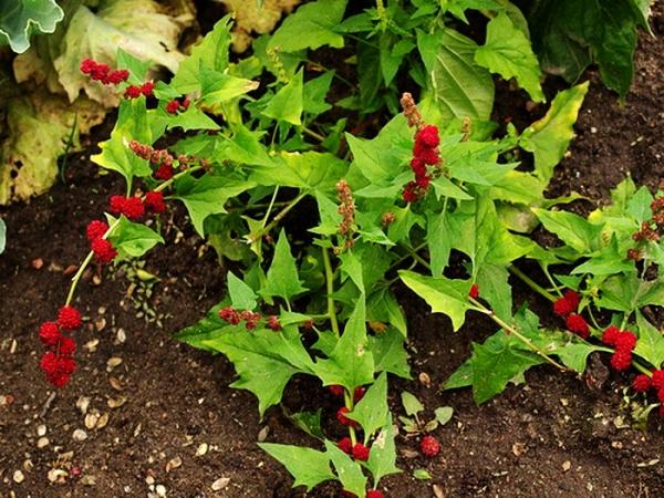 Шпинат земляничный - однолетнее растение, цветет в июле, плоды созревают в августе