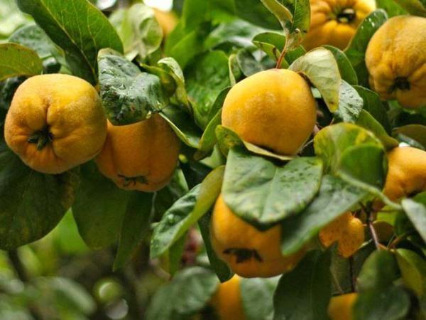 Айва содержит в себе высокую концентрацию полезных витаминов, таких как: провитамин группы А, витамины группы В1, В2, В3, В6, С, Е, РР, и ряд других микроэлементов и макроэлементов