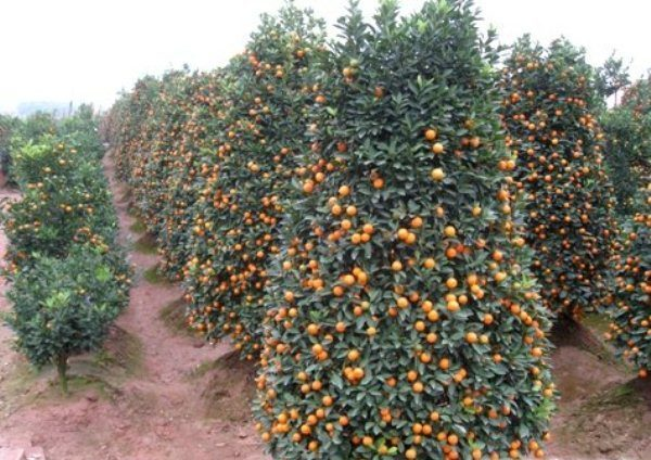 Дерево Кумкват с плодами