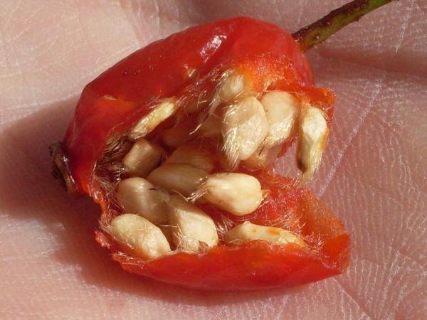 Шиповник можно выращивать из семян, отличается от других способов тем, что требует длительного времени