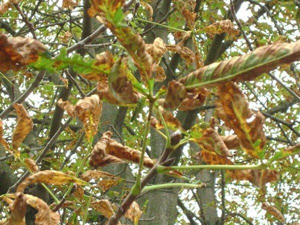 Краевой некроз листьев каштана