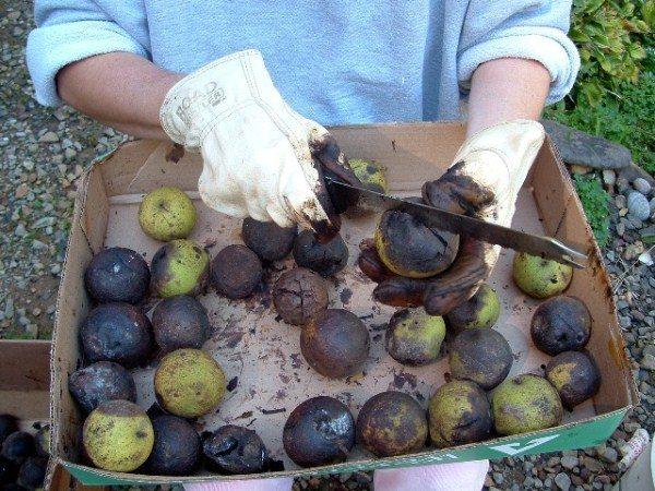Очистка грецкого ореха в перчатках