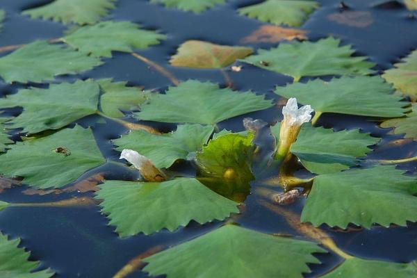 Водяной орех чилим назвыют чертовым и рогульником, цветет в начале лета, созревает осенью