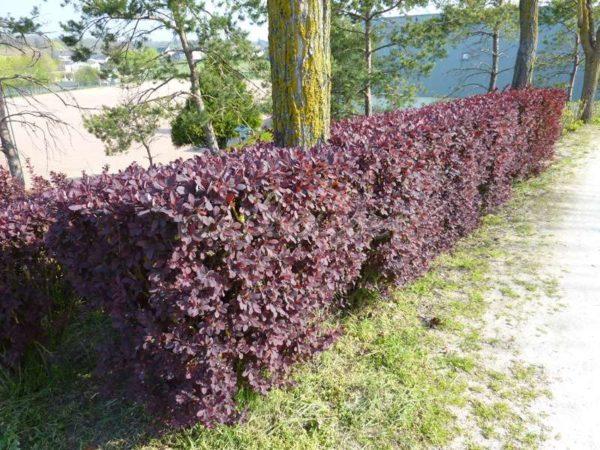Барбарис Оттавский используют в качестве живой изгороди