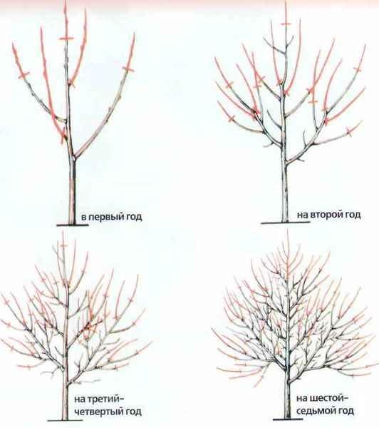 Схема обрезки абрикоса по годам