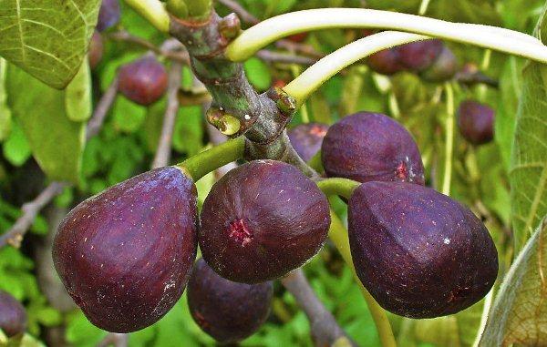 Плоды инжира