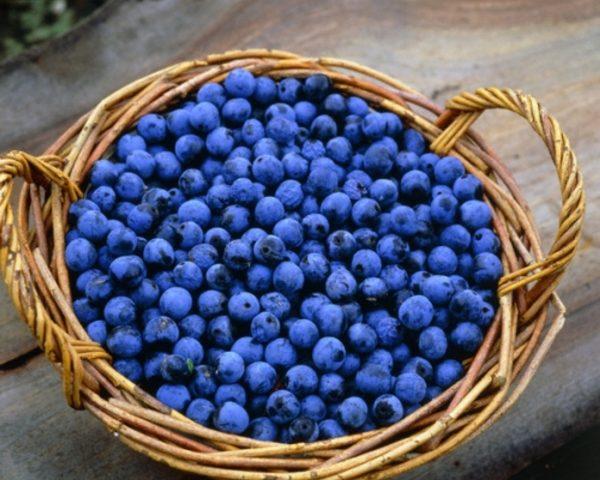 Свежесорванные плоды терна