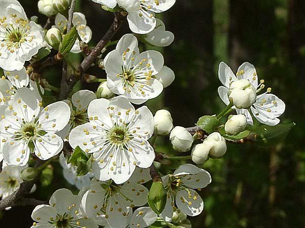 Цветки терна