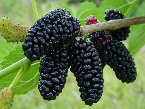 Черная шелковица или тутовник