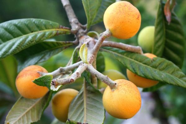 В ягодах мушмулы содержится большое количество полезных витаминов, а также минеральных веществ