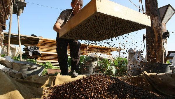 Переработка кедровых шишек в орехи