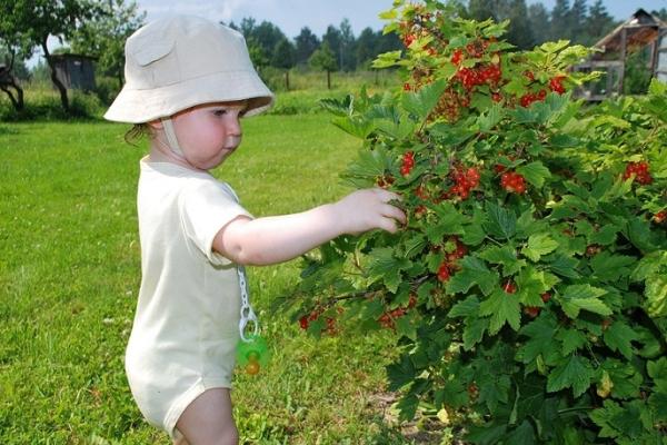 Как ухаживать за черной, красной и белой смородиной после сбора урожая ягод?