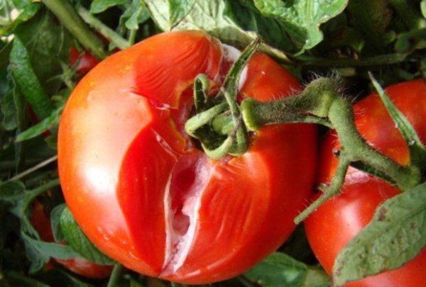 Зачастую белая гниль на томатах наблюдается при их хранении