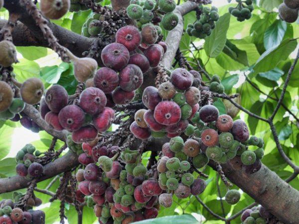 Спелые грозди инжирных плодов на дереве, готовые к сбору