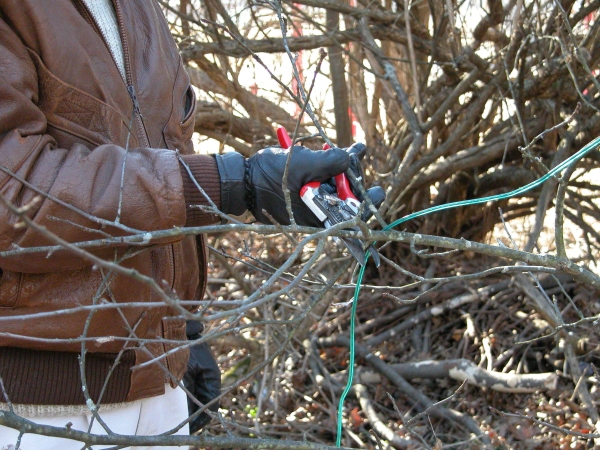 Благодаря процедуре обрезки крона дерева формируется правильно, приводит к получению богатого урожая
