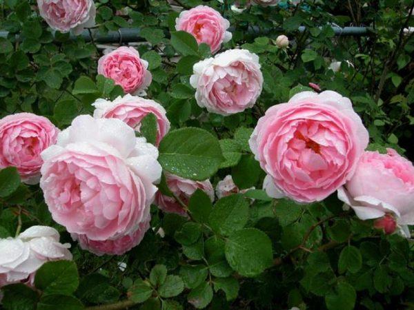 Кусты с крупными бутонами розы