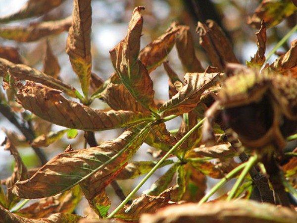 Скручивание листьев каштана