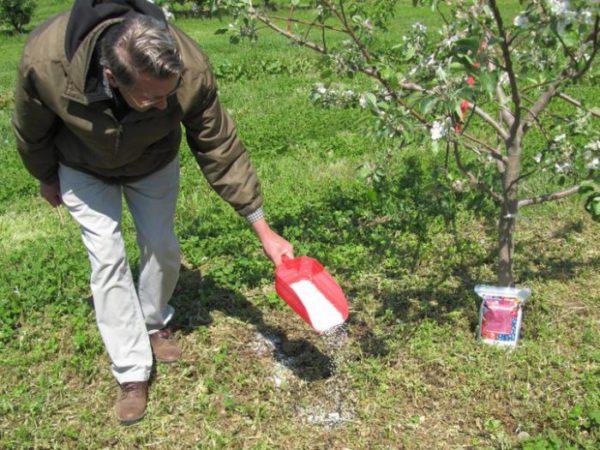 Удобрять плодовые деревья следует весной и осенью